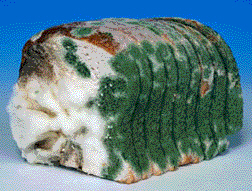 Moldy loaf of bread slice