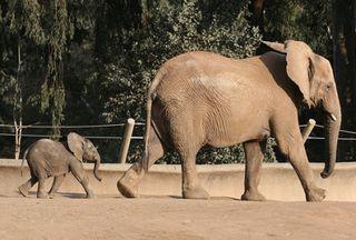 Mamma papa baby elephant 2