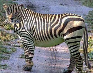 Leopard-Changed-Spots to Zebra stripes