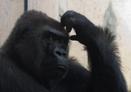 Pic_gorilla_scratching_head